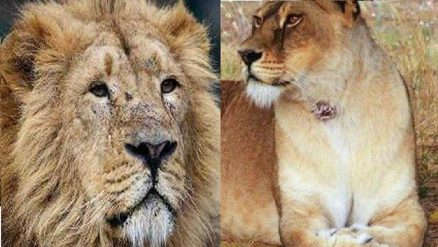 شروع زندگی مشترک؛ کامران و ایلدا شیرهای باغ وحش ارم هم خانه می شوند