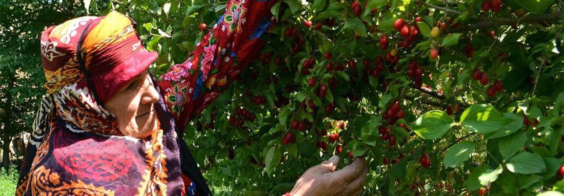تصاویر ، جشنواره زغال اخته در کلیبر ؛ سرزمین صخره ای ایران ، پوشش محلی زنان کلیبری هنگام برداشت محصول