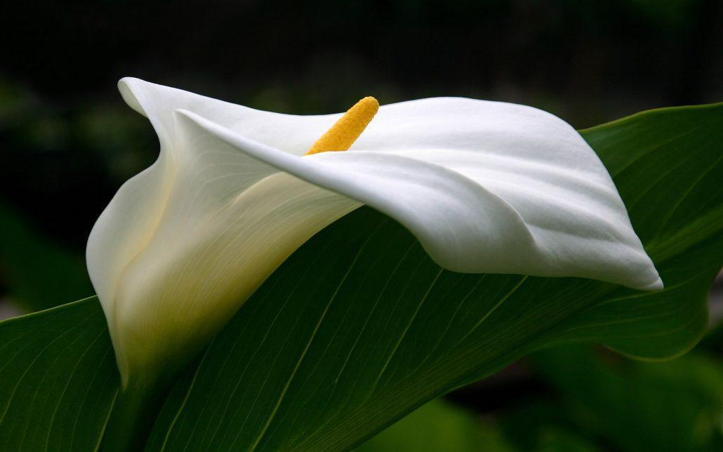 شرایط نگهداری گل شیپوری
